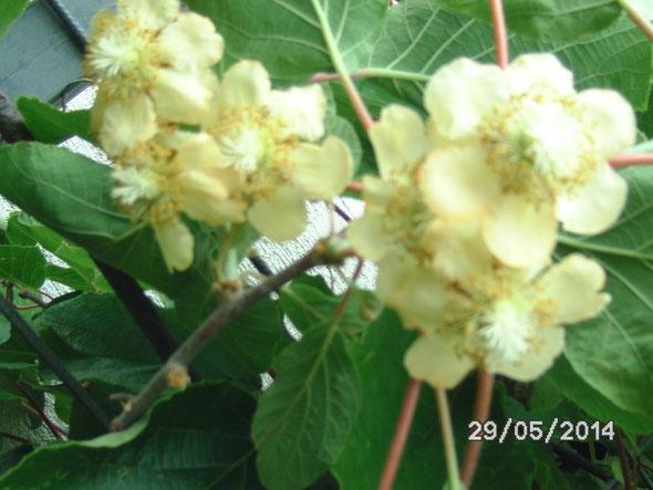 Weibliche Kiwiblüten