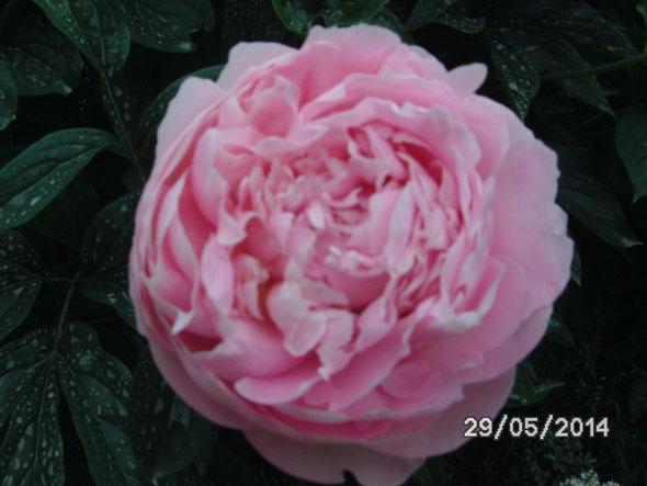 Pfingsrosenblüte