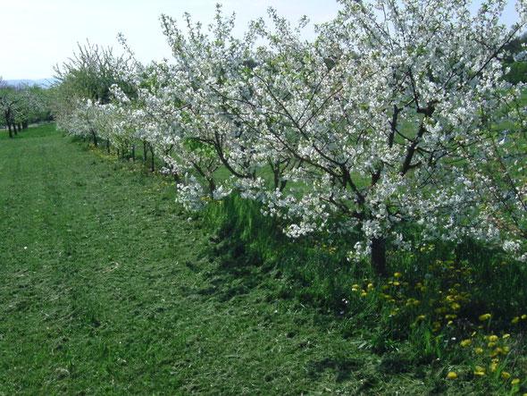 Kirschblüte Anfang April