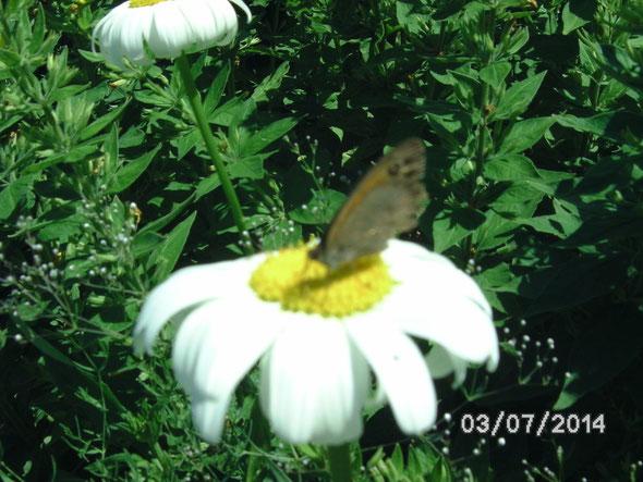 Schmetterling besucht die Margaritten