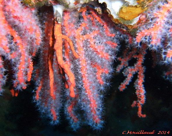 Le corail rouge de Corse