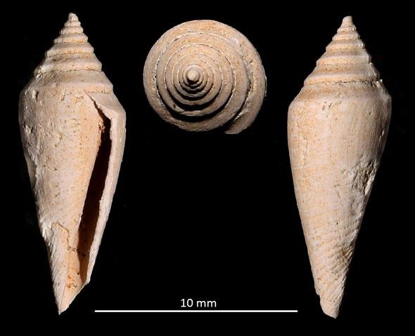 Conus subturritus, Miocene dell'Aquitania
