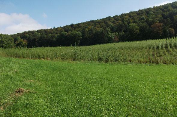 Energiewald Liesch 2: Hoelzle, Pappelanbau maschinell von Wald21 gepflanzt im März 2013, 3,97 ha, Bilder vom 16.Sept. 2014