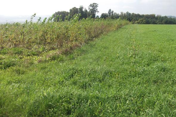 Energiewald Liesch 3: Breite, Pappelanbau maschinell von Wald 21 gepflanzt im März 2013, 1,63 ha, Bilder vom 16. Sept. 2014