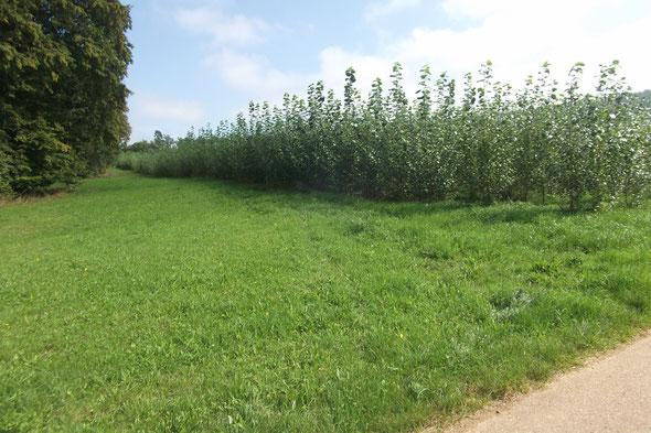 Energiewald Liesch 1 : Thalholz, Pappelanbau mit Händen gepflanzt im März 2013, 1,52 ha, Bilder vom 16.9.2014
