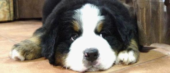 バーニーズマウンテンドッグ子犬専門