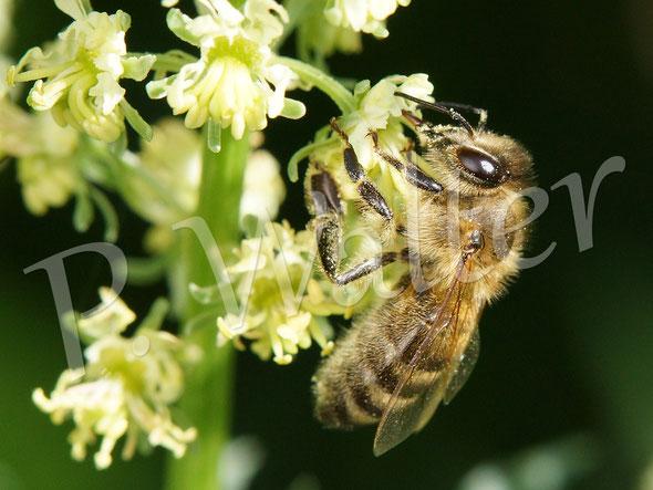 Bild : Honigbiene, Gelbe Resede