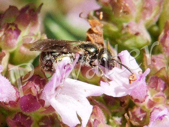 Bild: Furchenbiene am Oregano