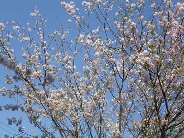 うちんちの桜 枝垂れは散ってしまいました