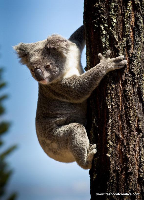 Freshcoat Creative Koala Elanora