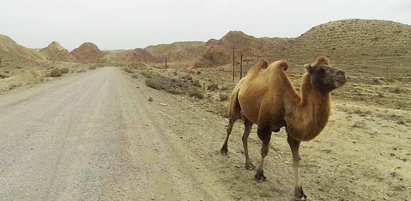...and we saw wild camels
