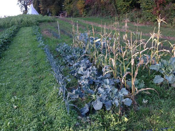 20. Oktober. Der Zuckermais stirbt langsam ab und der Brokkoli kann geerntet werden.