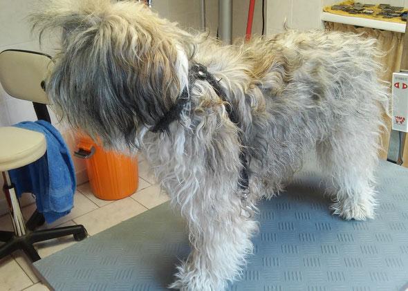 vorher Tibet Terrier