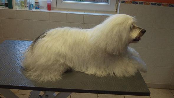 Tibet Terrier nach der Anwendung von Special One- optimal gesättigtes und gesundes Fell!