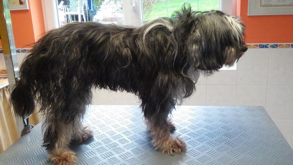Tibet Terrier vorher...