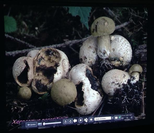 Ici on voit des bolets pousser sur d'autres champignons. On distingue également du mycélium (ressemble ici à des racines).