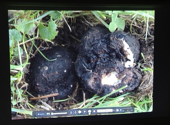 Sorte de truffe trouvée à Couvet. Champignon rare. Il a fallu l'emmener à Neuchâtel pour l'examiner au microscope afin de l'identifier.