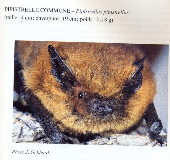 Photo tirée du livre de M. Blant, Les Chauves-Souris du Canton de Neuchâtel