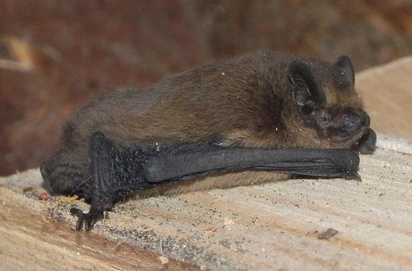 Chauve-souris découverte en second, longueur environ 5 cm.