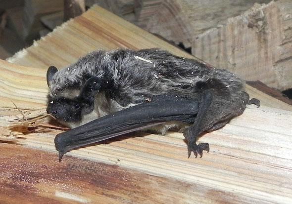Chauve-souris découverte en premier, longueur environ 7 cm.