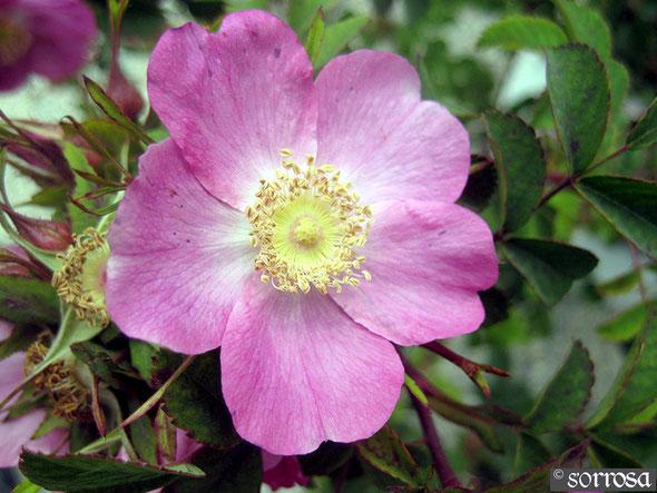 R. forrestiana