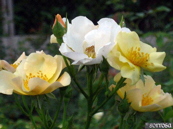Souvenir de Rose Marie