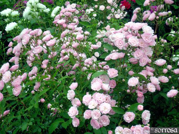Heavenly Pink