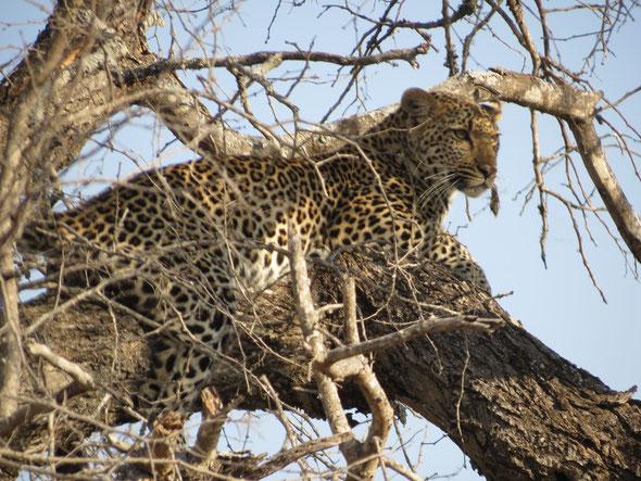 un léopard dans le Kruger