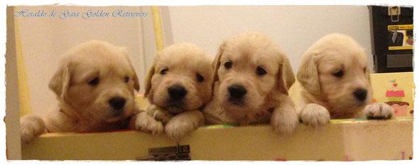 Algunos de nuestros cachorros de Golden Retriever de la camada de Mamá Galleta y Billy the Kid