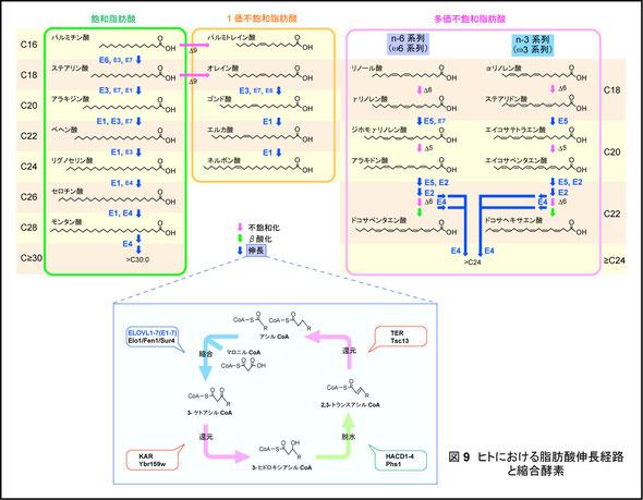 長鎖脂肪酸合成経路