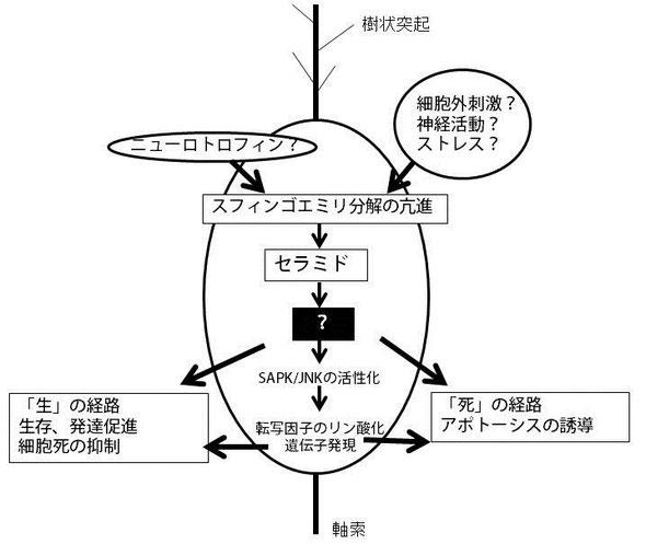 セラミドの作用メカニズム
