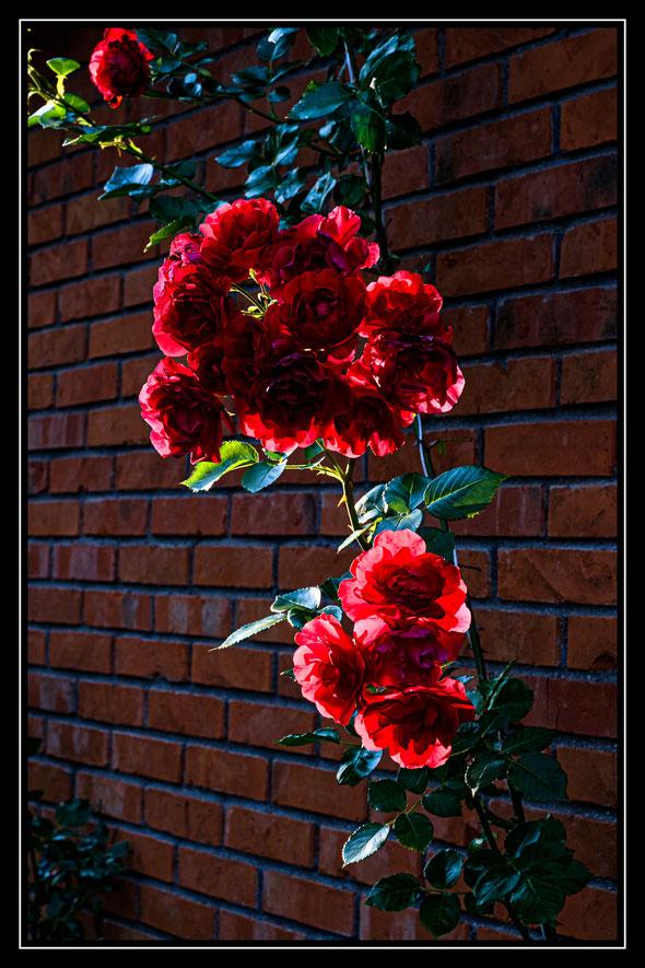 Rosen an de Mauer des Geburtshauses