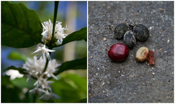 coffee blossom and coffee beans