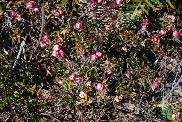 Wiry Snowberry (Gaultheria macrostigma) on Okia Flats