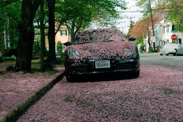 EHAAAAA: Cherry blossom-time in Alexandria