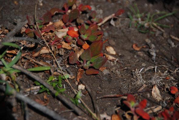 Tetragonia tetragonoides (New Zealand Spinach) on the summit of Te Matiai o Okia