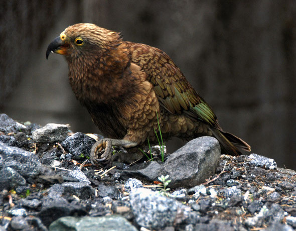 Kea at the western entrance to the Homer Tunnel, Milford Road.