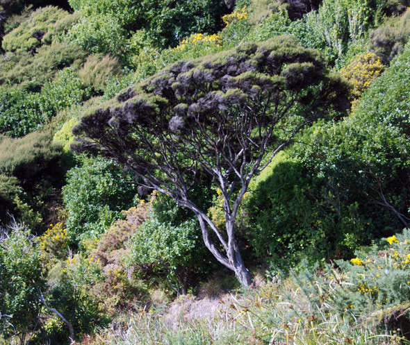 Manuka and thick coastal scrub including Hebes and Gorse,  on the Taupo Head walk, Golden Bay
