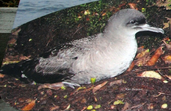 Sooty Shearwater as featured on the sign at Ackers Point