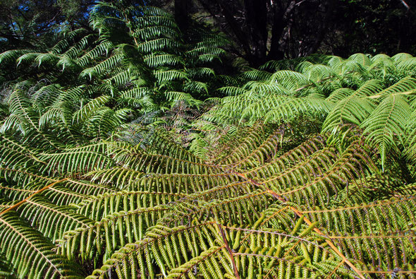 New Zealand Bracken  (Pteridium esculentum)