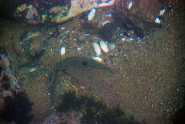 Fish (possibly the Spotty Fish/ Pakirikiri - Notolabrus celidotus) and clam shells under the jetty at Ulva Island. It was here my lens cap disappeared. Bivalve possibly a Pipi (Paphies australis).