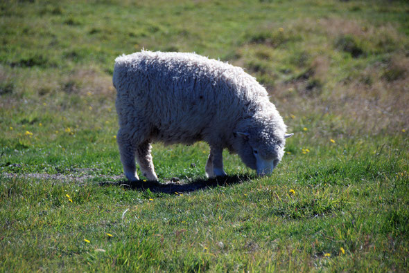 Fat yearling lamb (hogget) near the Okia Flat