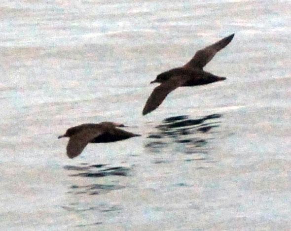 Sooty Shearwaters, Foveaux Strait.
