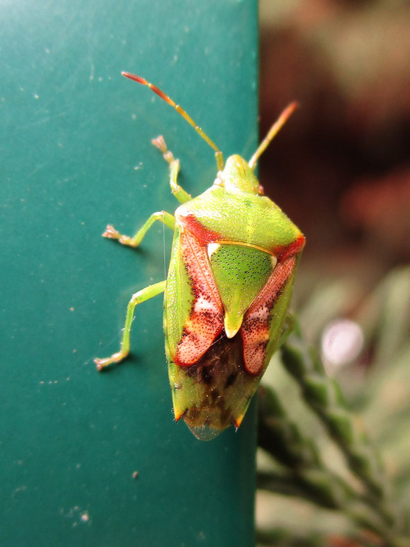 Juniper shield bug Cyphostethus tristriatus