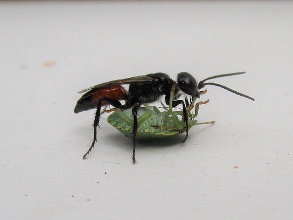 Predatory wasp Astata boops with a shieldbug nymph