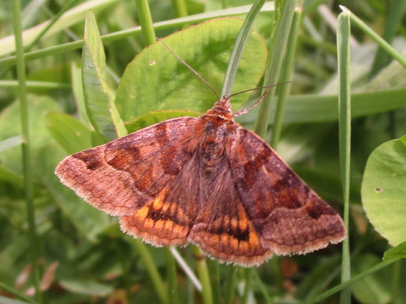Burnet companion moth Euclidia glyphica