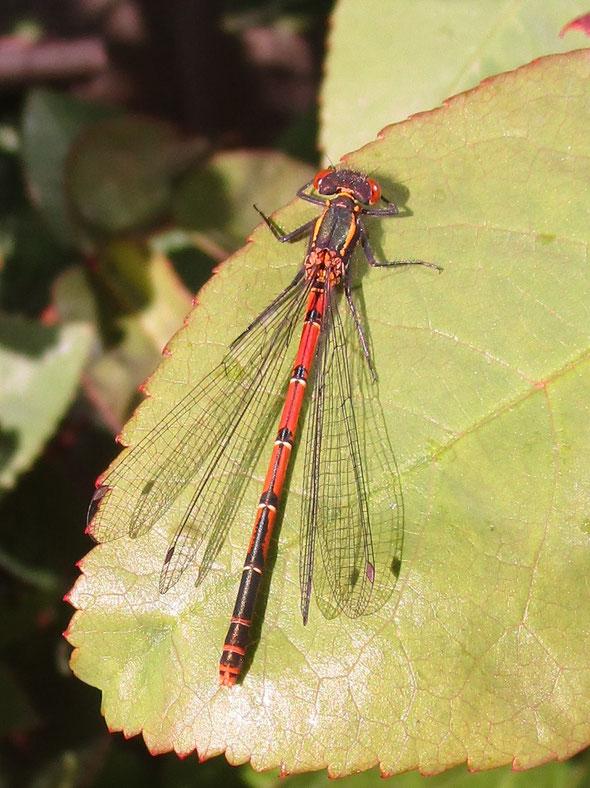 Damselfly Large Red Pyrrhosoma nymphula
