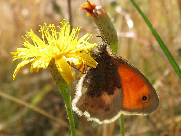 Small heath butterfly Coenonympha pamphilus