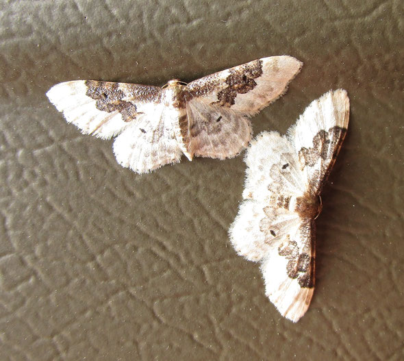 Least carpet moth Idaea usticata