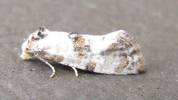 Micro-moth Cochylis molliculana